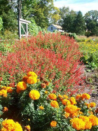 Burpee Garden and misc - Sept 059