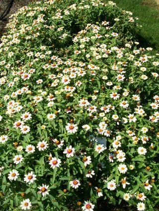 Burpee Garden and misc - Sept 064