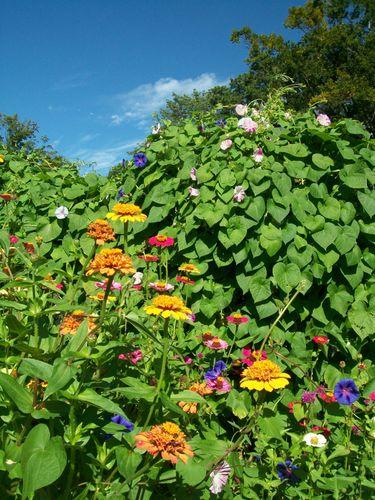 Burpee Garden and misc - Sept 057