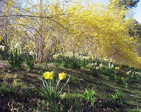 Daffodils, forsynthia